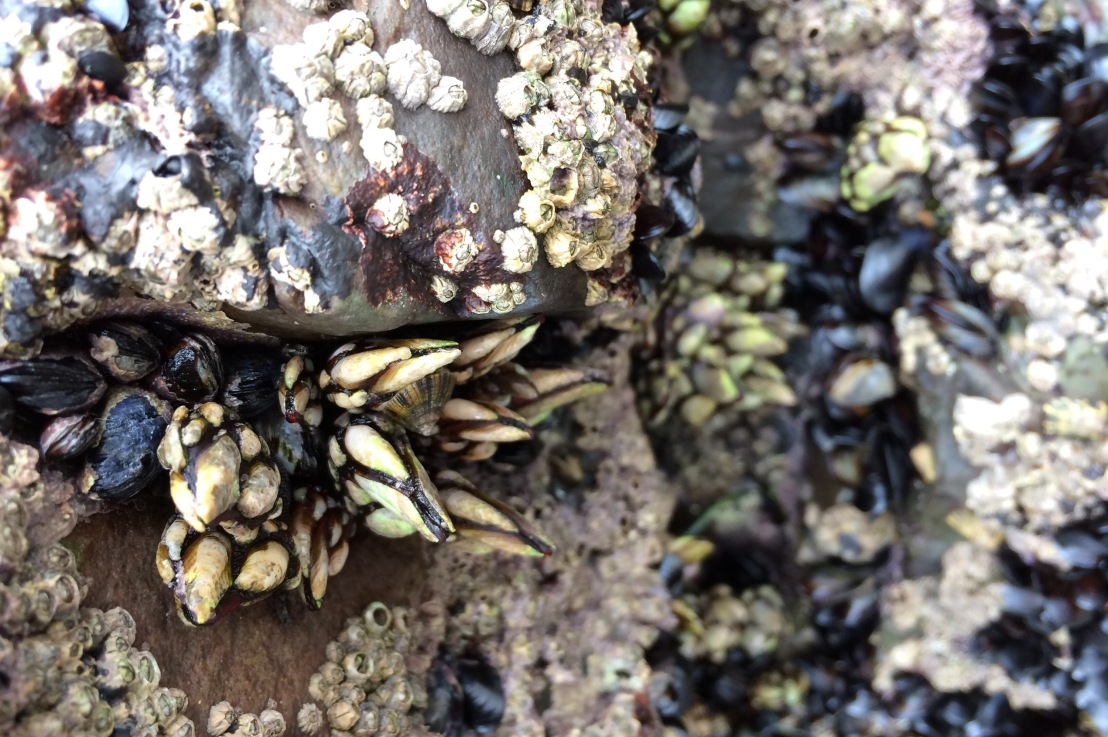 Ephemeral: On Mussels & Barnacles II